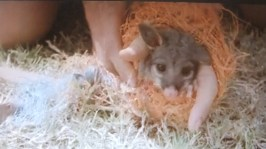 The poor terrified Brush-tail Possum Joey terrified as it is placed into this uncomfortable orange mesh before being dragged along the ground to be chased by actors, film crew and Greyhound in the Short film 'Maiden'
